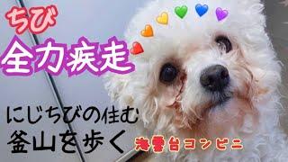 ビションフリーゼ犬ちび、全力疾走が面白いワンちゃん、cutedogとSeoul-Busanwalking 釜山海雲台コンビニ 韓国