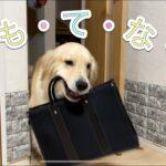 【パパちゃん帰宅】大型犬2匹のおもてなしが凄く最高にかわいい💕