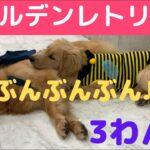 ダイソーでかわいいの見つけた!《沖縄に住む3匹のゴールデンレトリバー:大型犬 多頭飼い》ぽい。すい。子犬のぴい。