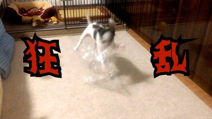 【大はしゃぎ】テンションMAXで遊ぶ子犬が可愛いすぎた