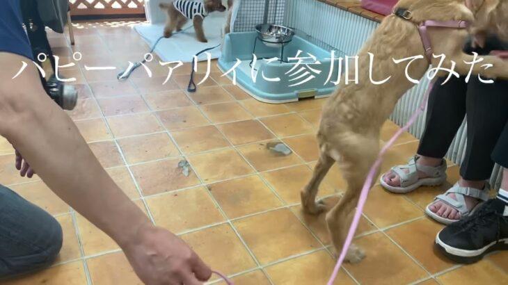 【かわいい】子犬 ラブラドゥードル 月(ゆえ パピーパァリイに参加してみた