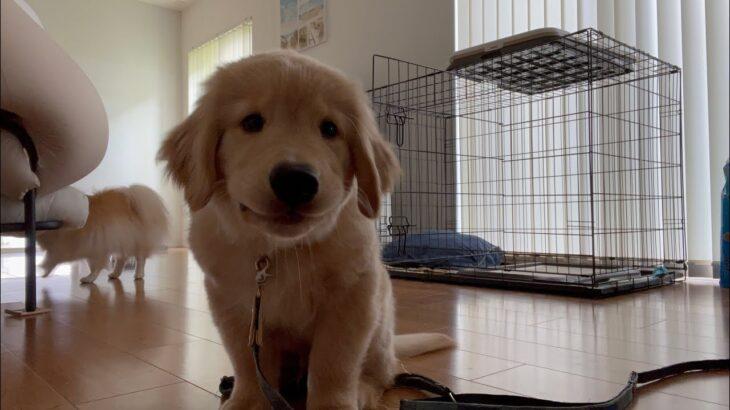 ゴールデンレトリバーの子犬(生後3ヶ月)のおすわりがかわいい