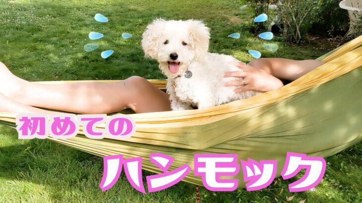 【リアクション】一刻も早くハンモックから下りたい可愛い子犬 My Puppy Reacts to First Time Hammock【トイプードルのルナ】【愛犬との日常】【アメリカ生活】【dog】