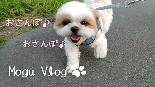 ✾シーズー犬Vlog✾お散歩のもぐがかわいい♡#shorts